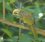 Bulbul, Straw-headed @ Hindhede