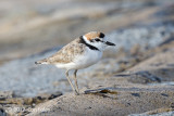 Plover, Malaysian (male) @ Marina East Drive