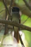 Flycatcher, Amur Paradise @ Rifle Range Link