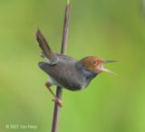 Tailorbird, Ashy (male) @ Sengkang