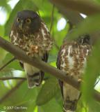 Owl, Brown Hawk @ Hindhede