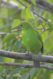 Leafbird, Greater Green (female) @ Jelutong Tower