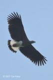 Eagle, Grey-headed Fish @ NTL2