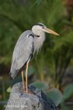 Heron, Grey @ Satay by the Bay