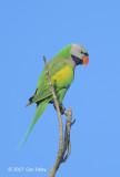 Parakeet, Red-breasted @ NTL2
