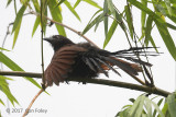 Coucal, Philippine @ Dolores