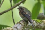Flycatcher, Mangrove Blue (juv) @ Dolores