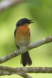 Flycatcher, Mangrove Blue (male) @ Dolores