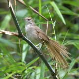 Grassbird, Tawny @ Dolores