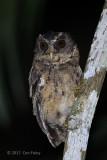 Owl, Palawan Scops @ Zig Zag Road