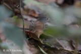 Babbler, Ashy-headed @ Irawan Eco Park