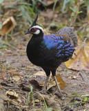 Pheasant, Palawan Peacock