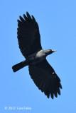 Crow, Slender-billed @ Irawan Eco Park