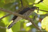 Cuckoo, Large Hawk @ Crocodile Farm