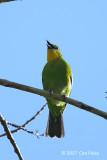 Leafbird, Yellow-throated @ Irawan Eco Park