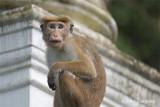 Toque Macaque @ Bodhinagala