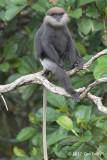 Purple Faced Leaf Monkey @ Martin's Lodge