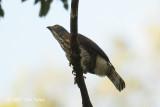 Eagle, Legge's Hawk @ Sinharaja