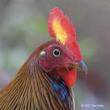 Junglefowl, Sri Lanka (male) @ Sinharaja