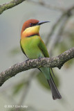 Bee-eater, Chestnut-headed @ near Sinharaja