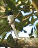 Flycatcher, Indian Paradise (male migrant) @ Bodinagala