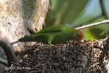 Parrot, Sri Lanka Hanging @ Bodinagala