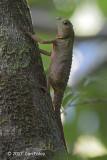 Hump-nosed Lizard @ Sinharaja
