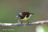 Sunbird, Purple-rumped (male) @ Martin's Lodge
