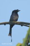 Drongo, Sri Lanka Crested @ Sinharaja