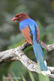 Magpie, Sri Lanka Blue @ Martin's Lodge