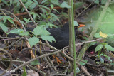 Blackbird, Indian @ Horton Plains