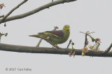 Pigeon, Sri Lanka Green @ Kitulgala