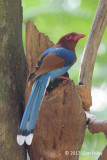 Magpie, Sri Lanka Blue