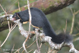 Grizzled Giant Squirrel (Ratufa macroura melanochra) @ Martin's Lodge