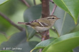Warbler, Yellow-browed