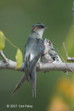 Treeswift, Grey-rumped