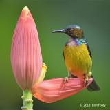 Sunbird Brown-throated (male) @ Botanic Gardens