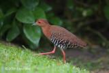 Crake, Red-legged @ Botanic Gardens