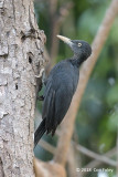 Woodpecker Northern Sooty fem 505_9556.jpg