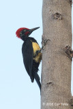 Woodpecker, White-bellied (male) @ Subic
