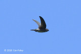 Swiftlet, Grey-rumped @ Subic