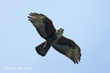 Eagle, Rufous-bellied @ Subic