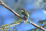 Bee-eater, Rufous-crowned @ Subic