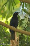 Bluebird, Philippine Fairy
