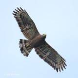 Eagle, Philippine Serpent