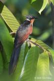 Cuckoo, Chestnut-winged @ SBG