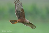 Harrier, Pied (juvenile) @ Chuping, Perlis