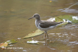 Sandpiper, Common @ Bishan