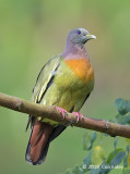Pigeon, Pink-necked Green (male) @ SBWR