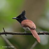 Flycatcher, Indian Paradise @ Sungei Buloh